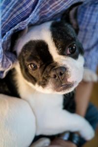 Bleu French Bulldog